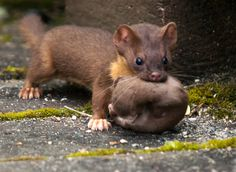 Long-tailed Weasel at Grays Harbor NWR