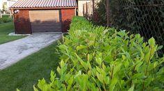 Gyors növekedésű egyedi immunerősítésű sövény növény. Wonderhedge® technológiával előkészített. Plants, Flora, Plant, Planting