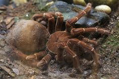 The 25 Biggest Living Things on Earth: Biggest Spider - The Goliath Birdeater (5 Ounces)