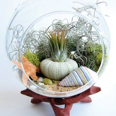 """Under the Sea"" Terrarium. Tillandsias require much less attention that other house plants & need no soil because water & nutrients are absorbed through the leaves. Provide them with bright, filtered light, & mist or soak them weekly. Just make sure to let the air plant dry completely before placing back inside terrarium: Includes: Tillandsia Ionantha ; Ombre Sea Urchin Shell; Sand; Reindeer Moss; Spanish Moss; Starfish; Sea Shell; Globe Terrarium size Height-5.5"", D-5"""