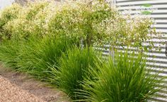 Lomandra Lime Tuff - mass planted in back garden