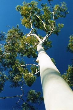 This is some WHITE tree, unnaturally so; yes? Lovely, it's my 1st time meeting such a tree! I thought it might be a Birch from North America, that are fast dying out, because peeps have been peeling the paper-like bark since I was a kid; thereby making it susceptible to weather and insects; and suspected that it had been Photoshopped, white! ~js