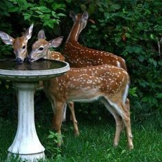 Fawns enjoying a lit