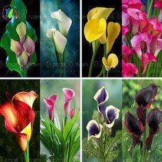 Semillas de flores 200 semillas bonsai colorido calla lily, raras semillas de flores de plantas de flores de jardinería En Casa de BRICOLAJE para el hogar jardín de plantación