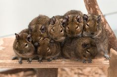 A cozy pile of degus! These animals are very susceptible to diabetes and breed fast. Very fast... So often when we take degus in, we take in a lot of them at once. Photo: Petra Sonius