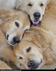Golden Retrievers Cuddling - A Place to Love Dogs   ...........click here to find out more     http://googydog.com