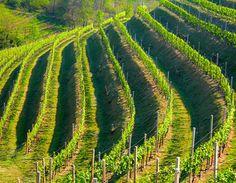 Steep terraced vineyard, Veneto Italy