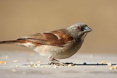 Northern grey-headed sparrow (Passer griseus) | Ghana
