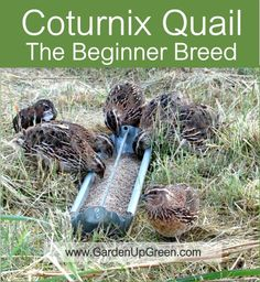 Learn Why Coturnix Quail are the Beginners Breed