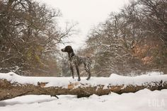 2015-german-shorthaired-pointer-in-texas-snow