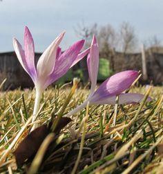 Crocus  May Dreams Gardens: Garden Bloggers' Bloom Day - March 2014