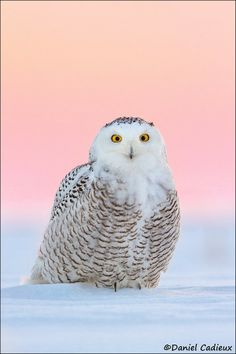 Snowy Owl at Dawn (female). by Daniel Cadieux