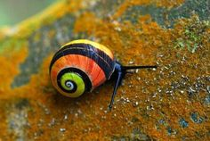 ainawgsd: Cuban Land Snails Polymita picta Polymita picta common name the Cuban land snail or the painted snail is a species of large air-breathing land snail. Shells of Polymita picta can reach a. Beautiful Creatures, Animals Beautiful, Cute Animals, Beautiful Bugs, Unusual Animals, Simply Beautiful, Cuba, Wild Animals Pictures, Snail Shell
