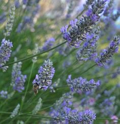 A field of Lavender.....