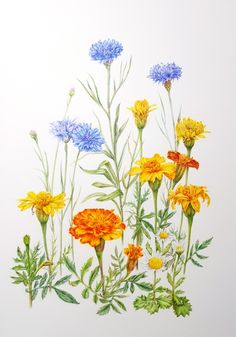 Gorgeous photos of floral arrangements to inspire you. Inspiration for your new floral tattoo to pretty floral backgrounds for your phone. Illustration Blume, Watercolor Illustration, Botanical Drawings, Botanical Prints, Watercolor Flowers, Watercolor Paintings, Painting Flowers, Pencil Painting, Marigold Flower