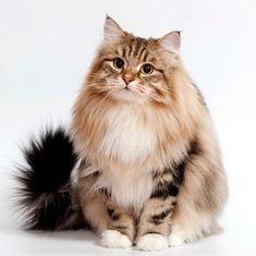 Hottest Cost-Free Cat Breeds siberian Style : Some individuals imagine that pet cats are simply kittens and cats, understanding that all are the same. Siberian Forest Cat, Siberian Husky Dog, Cute Cats And Kittens, Cool Cats, Cat Toilet Training, Image Chat, Norwegian Forest Cat, Maine Coon Cats, Beautiful Cats