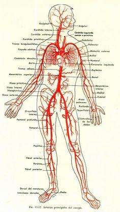 Arterias del cuerpo.