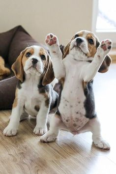 Are you interested in a Beagle? Well, the Beagle is one of the few popular dogs that will adapt much faster to any home. Whether you have a large family, p Cute Little Animals, Cute Funny Animals, Funny Dogs, Cute Dogs And Puppies, I Love Dogs, Doggies, Adorable Puppies, Cute Animals Puppies, The Dogs