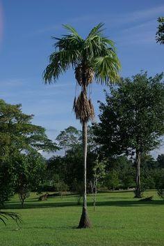 individual palm @ www.mytropicalhut.com