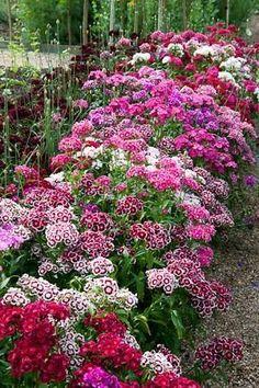 Sweet William Flower Seeds, Perennial, Attract Hummingbirds & Butterflies, 25…