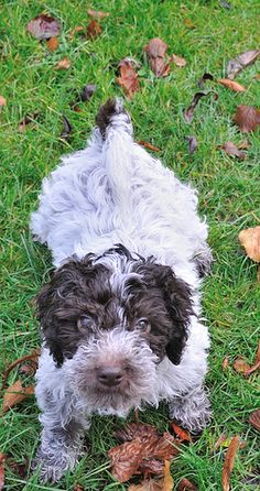 a Lagotto Romagnolo was bred for the unique purpose of seeking out valuable truffles.