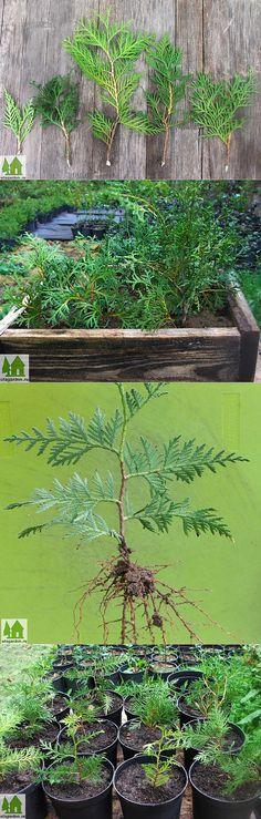 Как размножить тую | Дачная жизнь - сад, огород, дача. Как размножить т� | сад | Постила