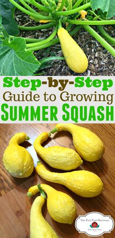 How to grow yellow summer squash. Yellow squash are easy to grow. Summer squash are a prolific garden vegetable. They definitely make my easy to grow vegetable list! I hope you'll learn how to grow yellow squash. via The Flip Flop Barnyard (Homesteading - Real Food - Natural Living - Large Family )