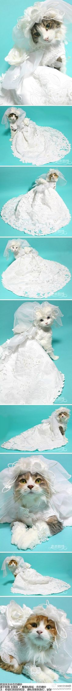 Cats in Wedding Dresses. Thank you internet for this, I will cherish it always.