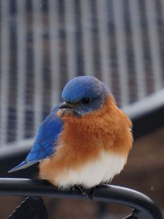 One cold Blue bird. - All puffed up to keep warm. This shot was taken through the window from the warmth of the house.