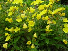 F is for fruticosa - Oenothera fruticosa. Gullnattljus.