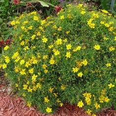 Sylvester Coreopsis
