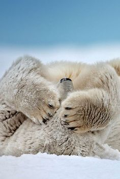A polar bear lying on its back in the snow covering its face with its paws.