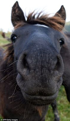 A Hucul pony offers its flaring nostrils to the camera in south east Poland. Funny Horse Pictures, Funny Horses, Funny Animals, Cute Animals, All The Pretty Horses, Beautiful Horses, Animals Beautiful, Rare Horse Breeds, Pony Breeds