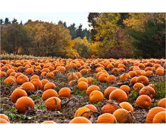 11 healthy pumpkin recipes: We scoured the web for the best healthy pumpkin recipes in the world. Try one of these healthy pumpkin recipes this week. Pumpkin Beer, Pumpkin Spice Latte, Pumpkin Parts, Fall Pumpkins, Halloween Pumpkins, Halloween Sweets, Halloween Masquerade, Happy Halloween, Pick Your Own Pumpkins