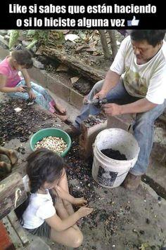 Qubrando las semillas de marañon.