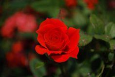 Todas las rosas son comestibles. El sabor es más pronunciado en las variedades más oscuras.