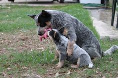 Tommy is teaching Abbey to hold the toy (Sue Ford's furbabies) Aussie Cattle Dog, Austrailian Cattle Dog, Cattle Dogs, Dog Rules, Bull Terrier Dog, Dogs And Puppies, Doggies, Retriever Dog, Working Dogs