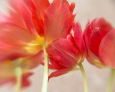 Photo of Bunch of Red Pink and Orange Tulips - Community by CarlaDyck