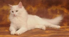 Turkish Angora cat information, pictures.Turkish Angora cats are happy to play, equally happy to relax and not particularly demanding of time. Cat Breeds List, Best Cat Breeds, Turkish Angora Cat, Angora Cats, Beautiful Cat Breeds, Beautiful Cats, Pretty Cats, Cute Cats And Kittens, Cool Cats