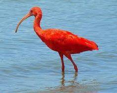 Image result for scarlet ibis