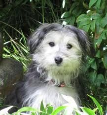 Maltese & fox terrier mix--look at that face!
