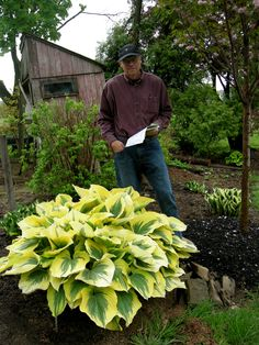 Carolyn's Shade Gardens - Top 10 Hostas - Great Site! picture is Hosta 'Liberty', next to Carolyn's husband, shows how large H. 'Liberty' grow. Many beautiful Hosta & garden photos shown, along with info. on varieties