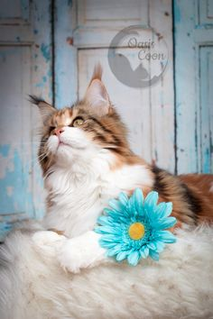 Maine Coon, Cats, Animals, Cattery, Gatos, Animales, Kitty Cats, Animaux, Cat