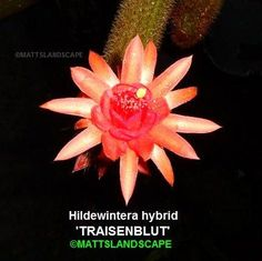 Hildewintera 'TRAISENBLUT', Chamaecereus, Echinopsis, 1 Gallon, 2+ Rooted Plants