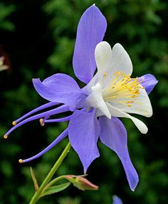 """I have no Columbines in my garden right now and I don't know why - they are romantic and beautiful. Aquilegia caerulea """"Rocky Mountain Columbine"""" - Gardening For Life Unusual Flowers, Amazing Flowers, Purple Flowers, Wild Flowers, Beautiful Flowers, Columbine Flower, Columbine Tattoo, Flower Pictures, Dream Garden"""