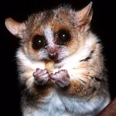 The Gray Mouse Lemur is a small lemur that is only found in Madagascar. It was first described by John Frederick Miller in Although it only weighs a mere Primates, Mammals, Animals And Pets, Baby Animals, Cute Animals, Madagascar, Slow Loris, World Birds, Australia Animals