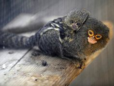 momma and baby marmoset