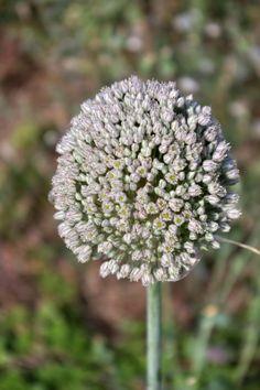 Pallenis Spinosa El Blog de La Tabla plantas silvestres