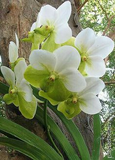 Green and white orchid