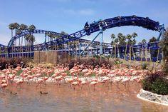 SeaWorld San Diego flamingos #animals